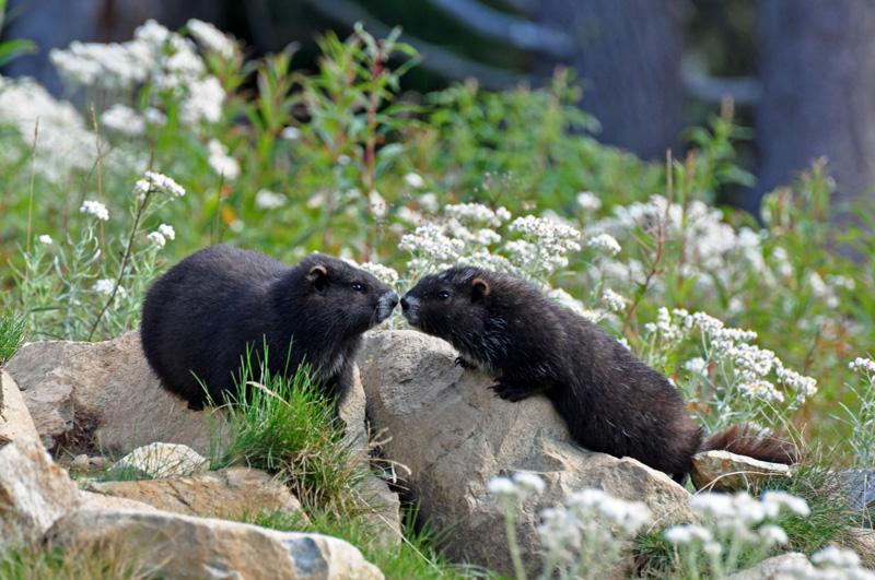 Vancouver Island marmots (Marmota vancouverensis) pups, 23 Sept 2013 - A. Bryant image