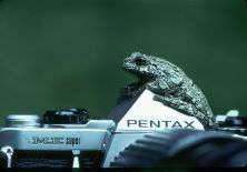 I'd climb a tree for a Pentax ME (Eastern grey treefrog, Algonquin, 1984). Pentax almost used it, but the ME was being discontinued...