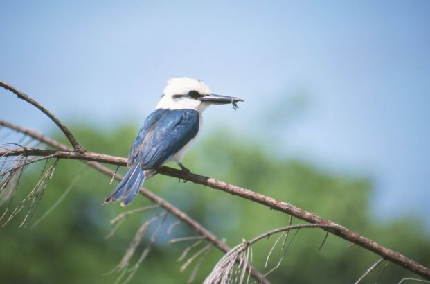 Atiu kingfisher, Cook Islands, 2000. This graced the cover of a local birding pamphlet.