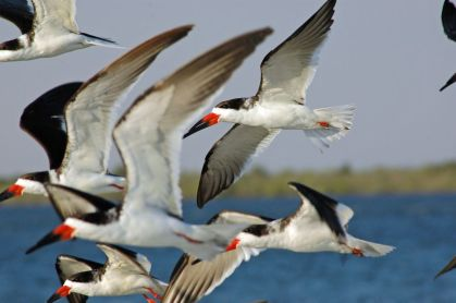 Black skimmers, Merrit Island National Wildlife Refuge, Florida, 2005. This was published by Leaf Litter magazine.