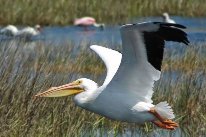 American White Pelican, Merritt Island National Wildlife Refuge, Florida, 2005