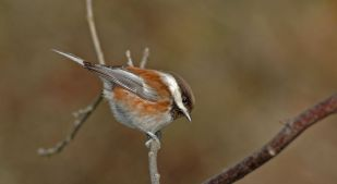 ...while taking time with chestnut-backed chickadee..