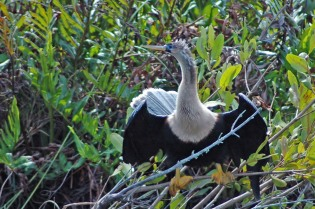 Anhingas are cool