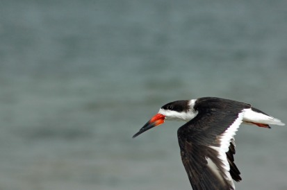 I just love Black Skimmers!