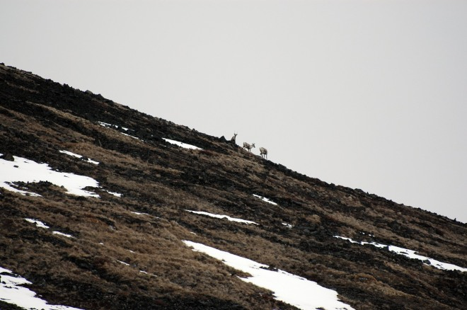 Caribou on ridge
