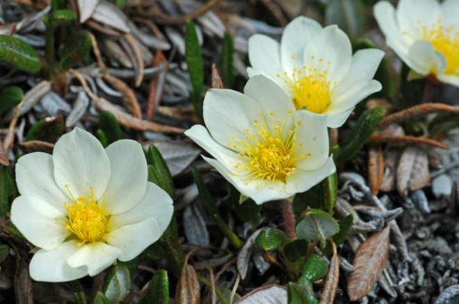 Dryas integrifolia - one of the hardiest plants in alpine terrain.