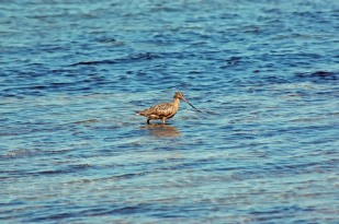 "Marbled Godwit perhaps? If so, this likely qualifies as my ""best bird of the trip"" - and I didn't even know it until I examined the photos."