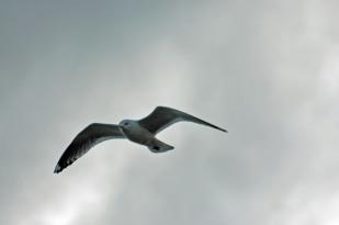 Western gull - I think...