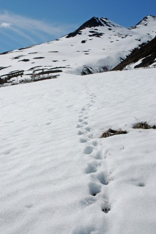 Hoardy marmot tracks in the snow