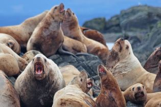 LOTS of Stellar's sea-lions. I estimated about 240 or so. On a couple of nights their roars made it hard to sleep. On other nights they were completely quiet. Heaven knows why.