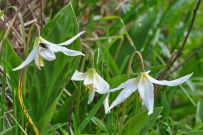 and white fawn-lilies