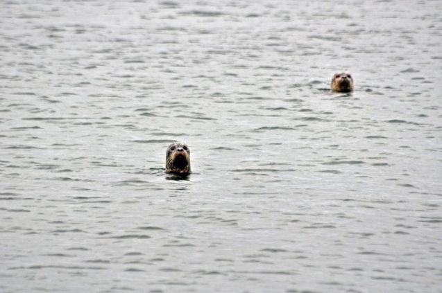 The harbour seals were typically curious and delighful to make eye-contact with.