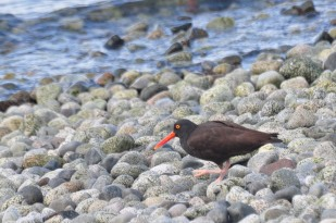 My high count from a single vantage point was 18 oystercatchers...the sound was incredible.