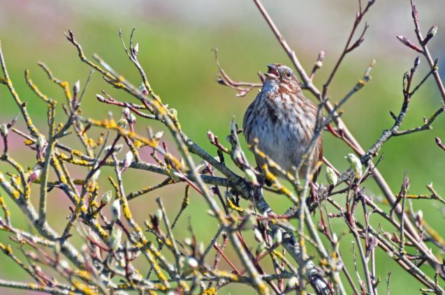 Song sparrows were abundant and making themselves very obvious...