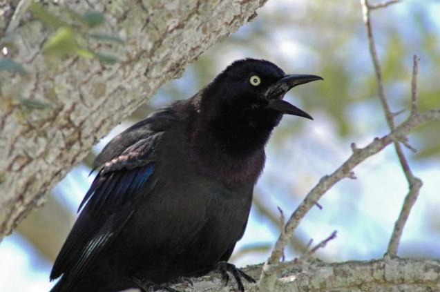 noisy Fish Crow