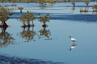 White Ibis reflection