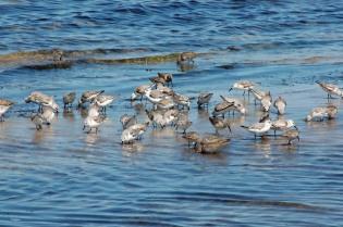 I love sanderlings