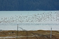 I took a free day to go out and help mist-net and band migrating shorebirds