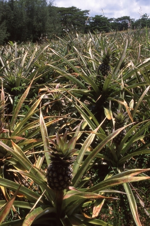 Pineapple crop, Atiu, Cook Islands, November 2000. © Andrew A Bryant