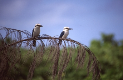 Chattering Kingfisher, Atiu Kingfisher, or Ngōtare (Todiramphus tutus), Atiu, Cook Islands, November 2000. © Andrew A Bryant