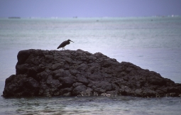 Pacific reef heron (Egretta sacra), Atiu, Cook Islands, November 2000. © Andrew A Bryant
