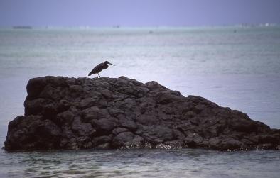 Pacific reef heron (Egretta sacra), Atiu, Cook Islands, November 2000. © Andrew A Bryant