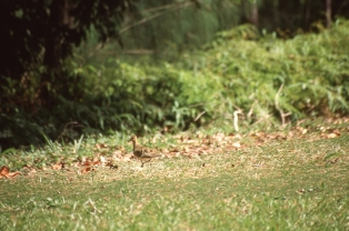 Pacific golden plover (Pluvialis fulva), Atiu, Cook Islands, November 2000. © Andrew A Bryant
