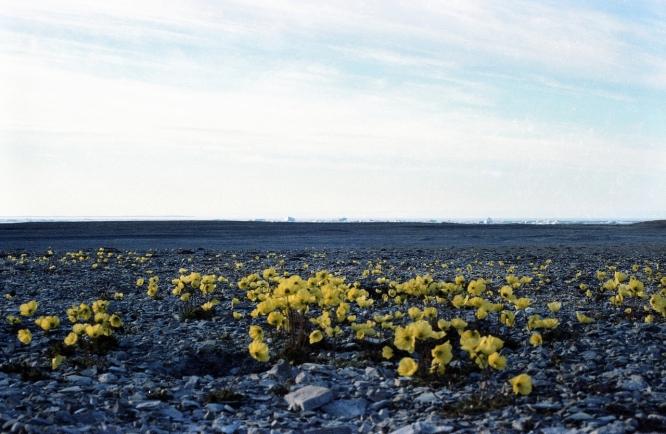 Arctic poppies at Resolute Bay, NWT, 1979