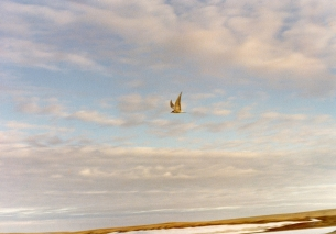 Arctic tern, Resolute, NWT 1979