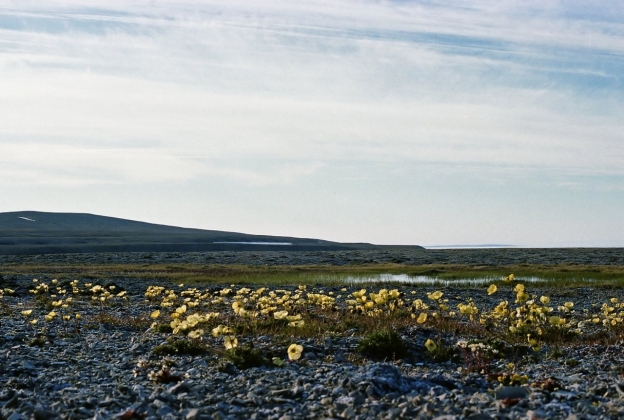 "Sewage lagoon at Resolute, Nunavut, in July of 1979. That's waaaay far north, on Cornwallis Island, at 74°42'41.61""N, 95° 3'24.20""W Those yellow flowers are arctic poppies (Papaver radicatum)"