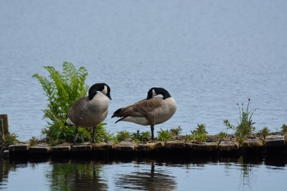 First geese of the survey. Whyte's Beach (Cranberry Lake, end of Drake Street)., 15 May - A. Bryant