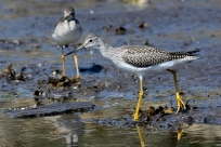 Lesser Yellowlegs Sliammon waterfont, 3 August- A. Bryant